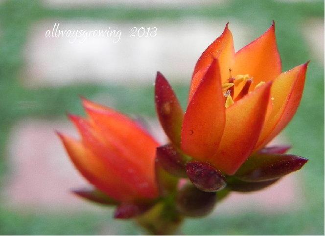Echeveria blooms in Fall colors.