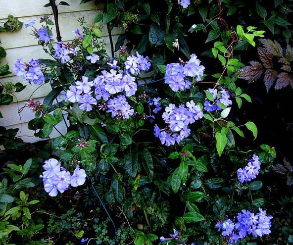 Phlox Blue Paradise