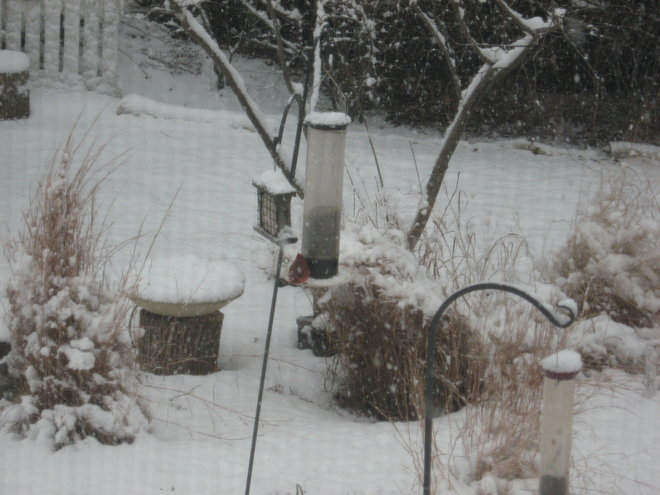Cardinal at the big feeder with black sunflower seed