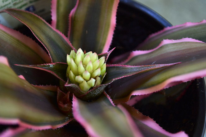 Red StarCryptanthus