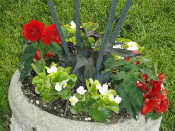 Begonias and sweet potato vine