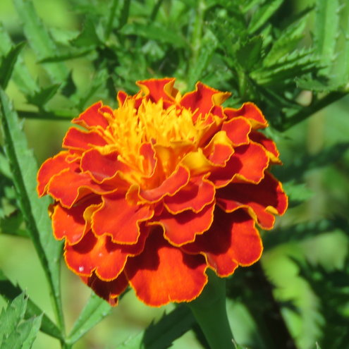 Marigolds have bloomed here - but, mine only have buds ...