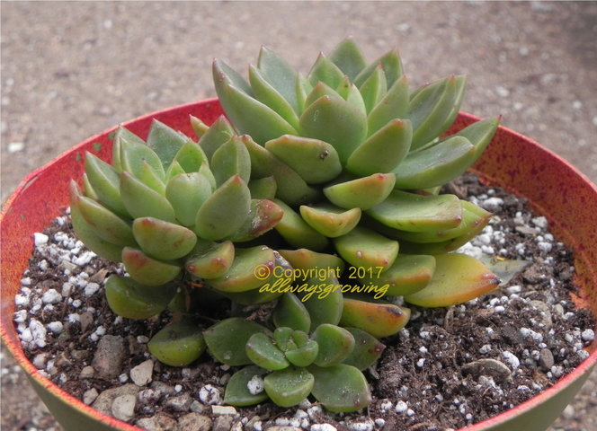 xSedeveria 'Golden Goddess', on the other hand, takes on the growth habit of its Echeveria parent with a short or indistinguishable stem.