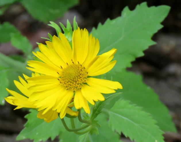 False Sunflower ..