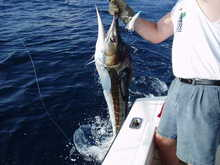 White marlin August 05