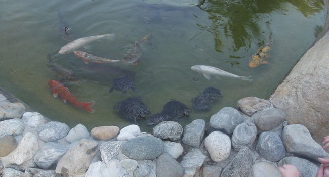 one of the ponds with turtles and fish!